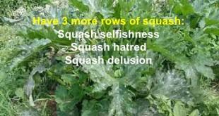 rows of squash L
