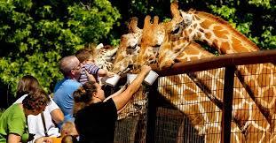 family feeding giraffes